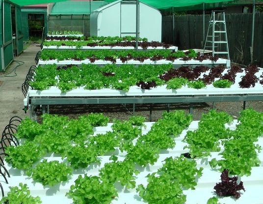 Cara Menanam Hidroponik dan Contohnya - http://bibitbunga.com/blog/cara-menanam-hidroponik-dan-contohnya/