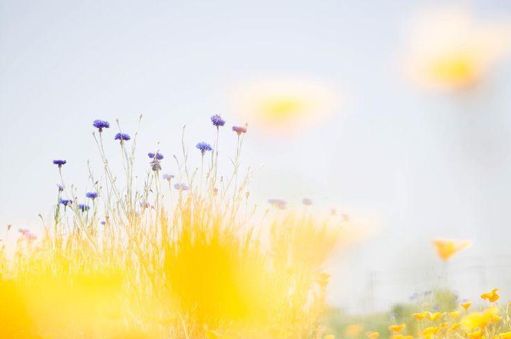 幸せをずっと… #花 #flower #flowers #flowerstagram #flowerslovers #photo #photography #spring #オールドレンズ #oldlens #カメラ女子 #japan #ボケ #nature #naturelovers #bokeh #bokeh_love #poppy #poppyflower #ポピー #幸せ #happy #atomlens #takumer #bonheur #夢 #初夏 #cute #矢車草 #cornflower http://gelinshop.com/ipost/1521721751314418129/?code=BUePd7SFMnR