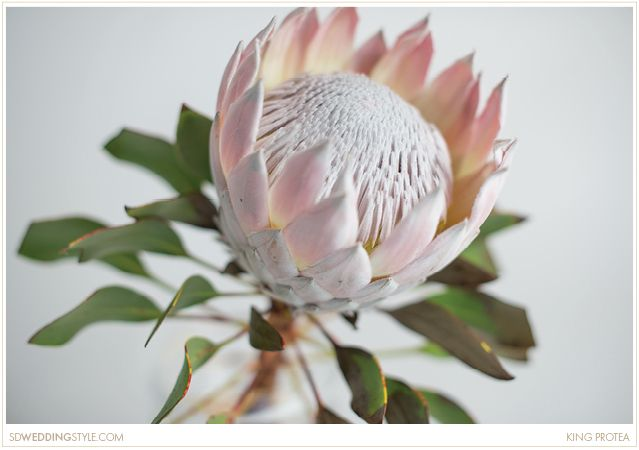 pretty much just need ONE of these babies for the bouquet! - king protea