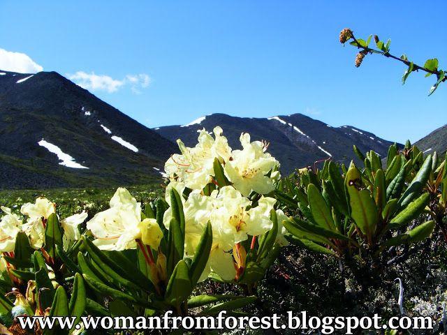 Syberyjskie rododendrony, piękne widoki Siberian rhododendrons, stunning views