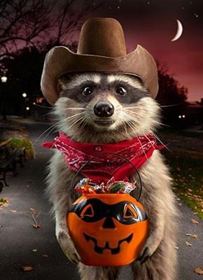 #funny, Halloween, raccoon, #cowboy, trick-or-treat, cute, animal, humor