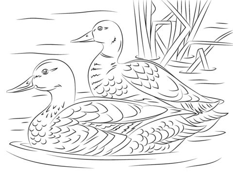 Pair Of Mallard Ducks Coloring Page