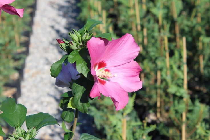 Hibiscus Syriacus Woodbridge by Piante Frosini