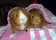 to hv guinnea pigs as pets..awww