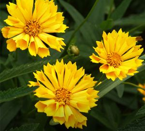 Doronicum Little Leo -- Bluestone Perennials