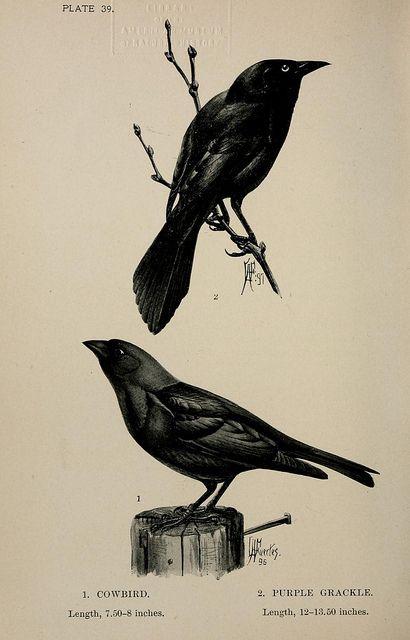 Cowbird & Purple Grackle, 1896: Art Inspiration, Grackl 1896, Cowbird Purple, Crows Illustrations, Grackl Clips Art, Crows Ravens Magpi, Botanical Illustrations Birds, Purple Grackl, Birds Ink Illustrations