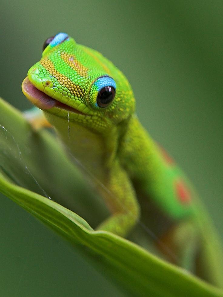 Geckos...