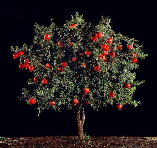 Το ρόδι της καλής τύχης, ο βασιλιάς των φρούτων