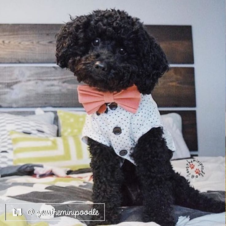 Zeus is our Thrifty Pup of the Month for May! Check out his feature on Facebook   #thriftypup #bowtie #dogbowtie #dogsinbowties  #bowtiesarecool #bowtiesforpets #dogaccessories #dogfashion #upcycled #handmade #shopsmall #supportsmallbusiness #fancydogs #dapperdog #stylishdog #dog #dogstagram #dogsofinstagram #doglovers #puppy #puppylove #puppiesofinstagram  #thriftypupambassador #miniaturepoodle #poodle #poodlesofinstagram #minipoodles by thriftypup