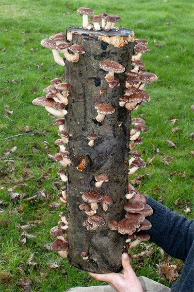 Grow Mushrooms on logs at home  Backyard and Garden  Pinterest