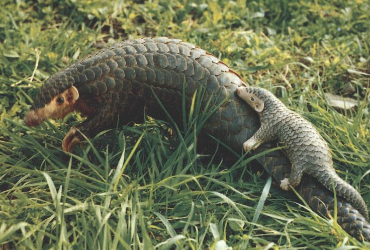 CHINESE PANGOLIN Manis pentadactyla  Endangered  Photo by Unknown