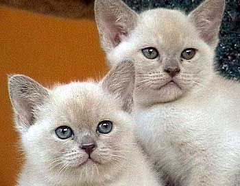 burmese kittens | Burmese Cat Breeders Australia - Burmese Kittens for sale