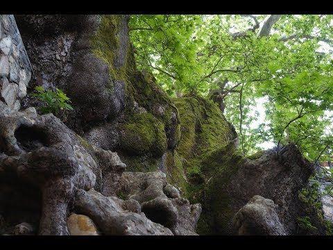 Ein Traum von Baum – Die Wurzeln im Wasser Von den Wurzeln bis zur Krone – zehn Bäume erzählen ihre Geschichte und enthüllen die verblüffende Beziehung zwischen Natur und Kultur. In dieser Folge: Die Platane auf der Ile de Peilz im Genfer See und der griechische Geroplatanos haben... - #Arte, #Doku, #Menschen, #Natur  http://www.dokuhouse.de/ein-traum-von-baum-die-wurzeln-im-wasser/
