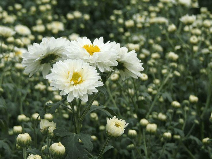White wild chrysanthemum flower