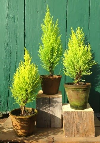 Lemon Cypress (Cupressus Macrocarpa) The tree is characterized by bright yellow foliage & a narrow, conical habit with a heavy lemon scent. It is a fairly low-maintenance fast growing plant that grows in spurts, rather than slowly over time. They can be trained to grow as topiaries / Snug Harbor Farm