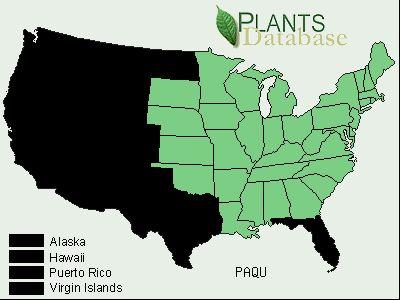 Panax quinquefolius American Ginseng Plant