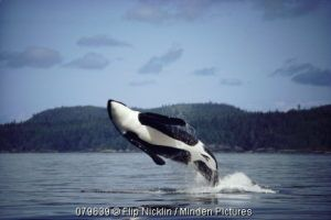 Orca or Killer Whale | Save The Whales