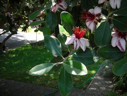 Photo of Pineapple guava blossom by mizpattytoyou under the Creative Commons Attribution License 2.0.Click To Enlarge