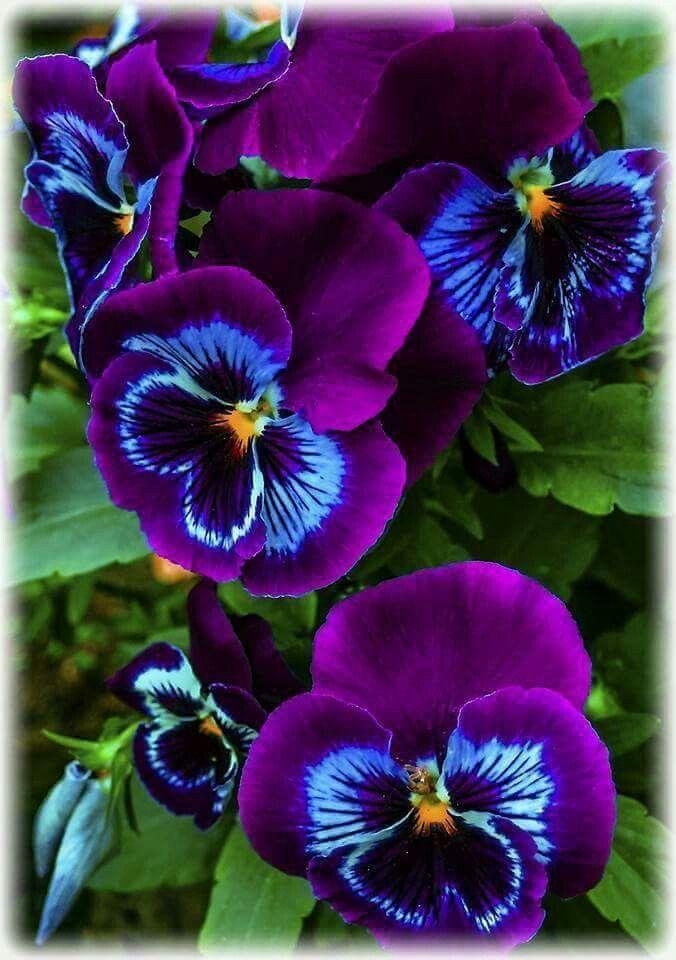 Diese Stiefmutterchen Sind So Hubsch Diese Exoticgardenideas Hubsch Stiefmutterchen Pansies Flowers Unusual Flowers Beautiful Flowers