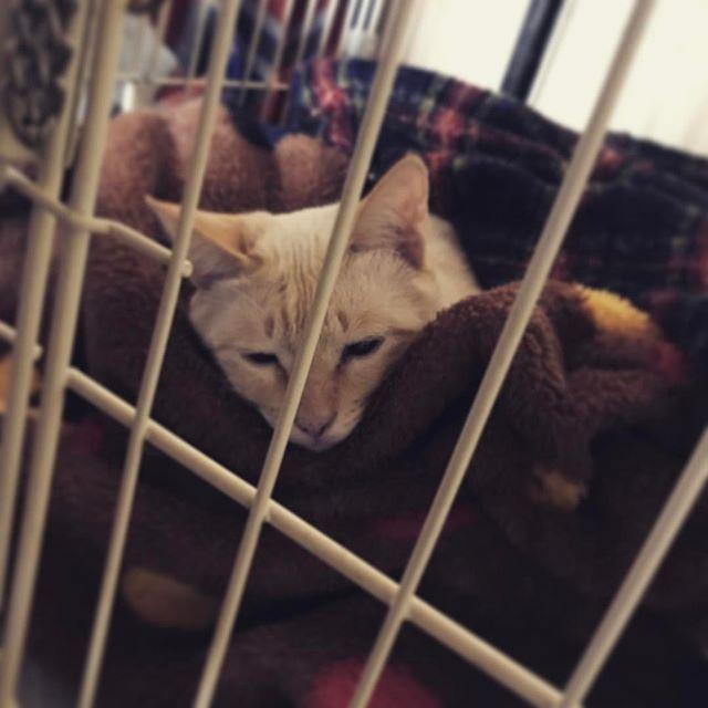 まーちゃん脱走劇。 昨晩から屋外へ脱走。 行方不明。  今朝、捕獲。  右手負傷。 感染から発熱。 病院で治療。  軍司のヘルニア用ケージで お休みになられてます。  外猫は えすかったろ😢  #愛猫#猫#麻痺猫#マヒル  まーちゃん 懐いてないから 探すのも捕まえるのも大変😢  気を付けよ。 まーちゃんゴメンね😢