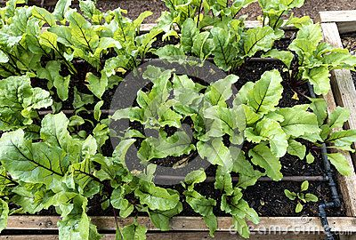Young beetroot plants grow in a raised wooden garden bed.