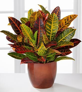 Are Croton House Plants Poisonous To Cats