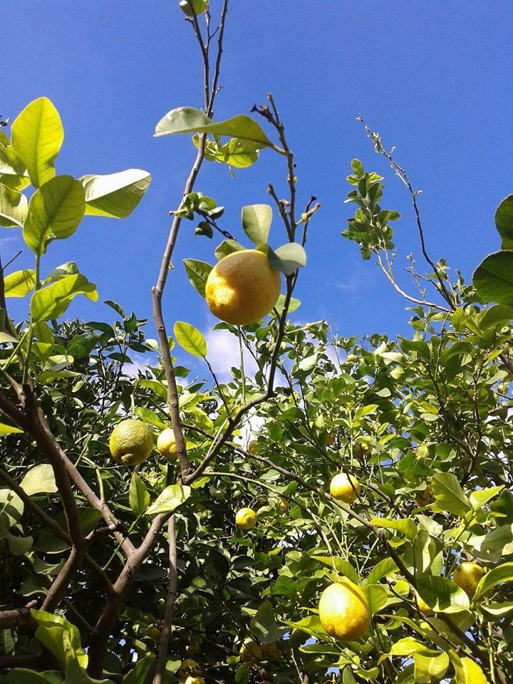 Lemon Salento, Puglia, Italy #dominasalento #salento #puglia #italy