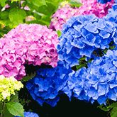 Annabelle Hydrangea for Sale | Fast-Growing-Trees.com