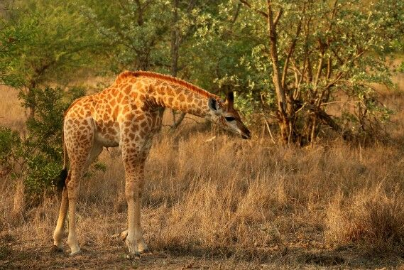 Baby girraffe with the early morning sunlight shining on her.