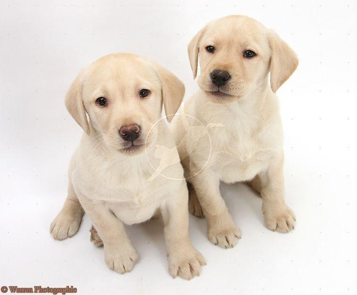 Labrador retrievers | looking for labrador retriever puppies for sale?