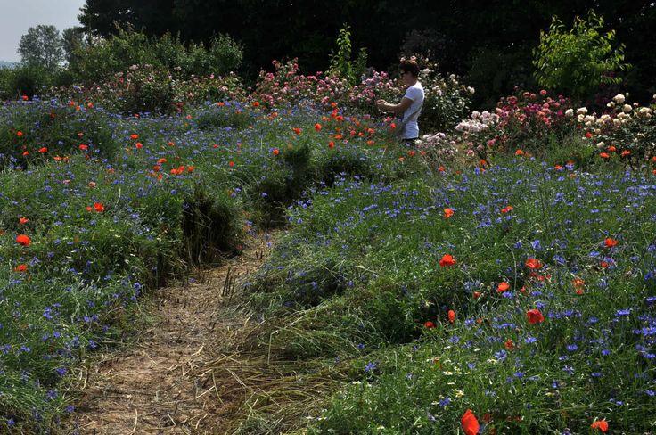 """rose e fiori di campo vivaio """"la campanelle"""""""