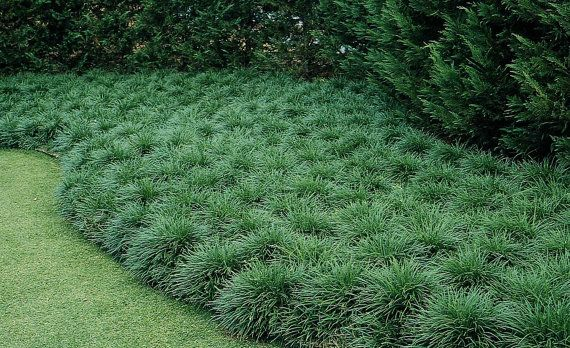 3 Green Mondo Grass/ Ophiopogon Japonicus in 4 by DaylilyNursery                                                                                                                                                                                 Más