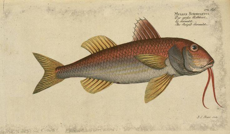 Mullus surmuletus fish from Oekonomische Naturgeschichte der Fische Deutschlands