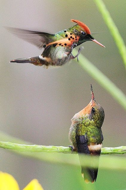"Tufted Coquette. (Lophornis ornatus.) ""Scenes From A Courtship.""                                                                                                                                                                                 More"