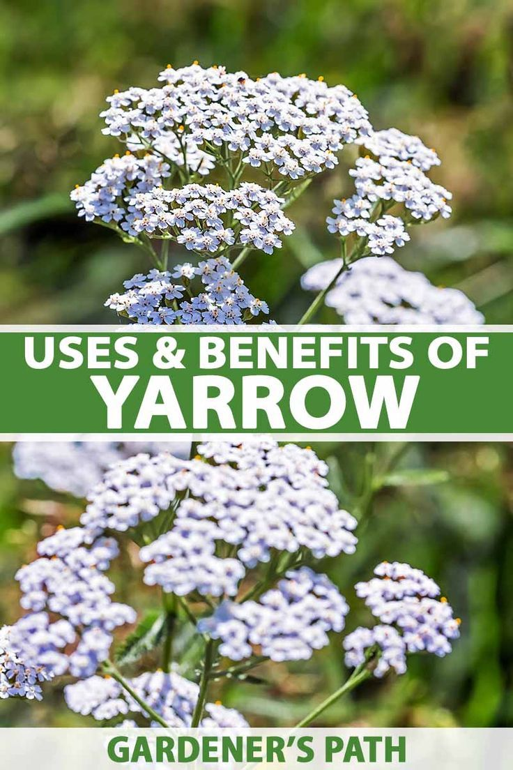 The Uses And Benefits Of Yarrow Gardener S Path In 2020 Yarrow Plant Common Garden Plants Perennial Herbs