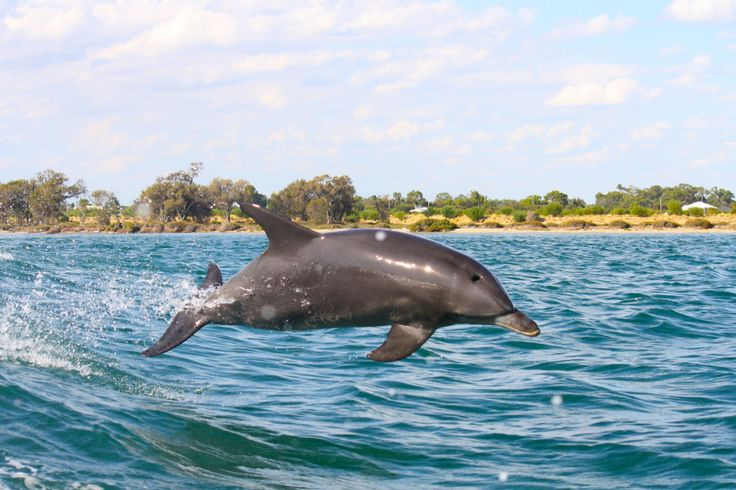 A great action shot of a flying Mandurah dolphin #dolphin #cruise