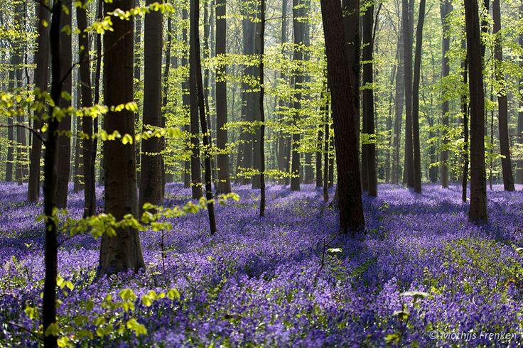 Forêt Hallerbos, Belgique