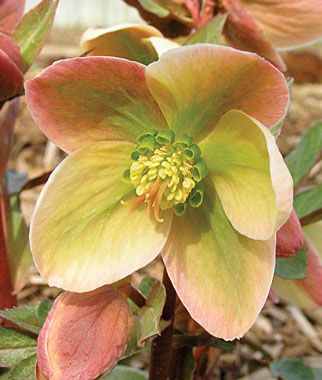 Ivory Prince Hellebore -- shade perennial -- and deer resistant -- my kind of flower!: Flowers Gardens, Shades Flowers, Late Winter, Hellebor Ivory, Prince Hellebor, Helleborus Ivory, Lenten Rose, Shades Perennials, Ivory Prince
