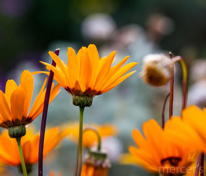 Namaqualand daisies at Kirstenbosch, Cape Town