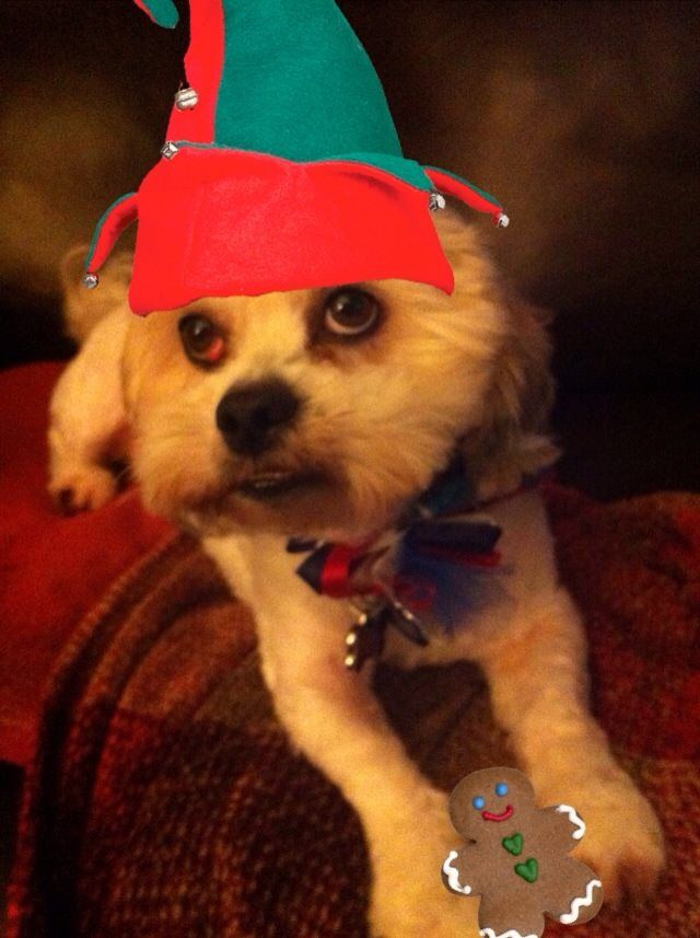 www.savemerescue.org  Charlie Charlie. 3 years old. 14 lb. Male. Neutered. Shihtzu Mix  Available for adoption