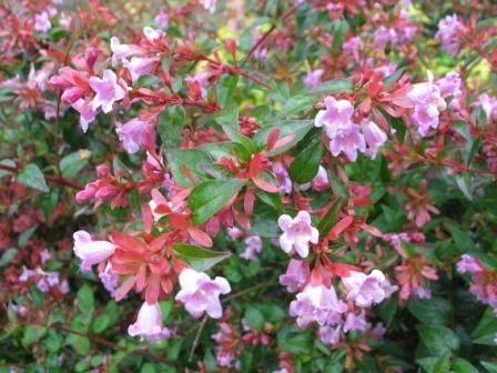 Abelia edward gaucher evergreen perennial plant for Small perennial trees