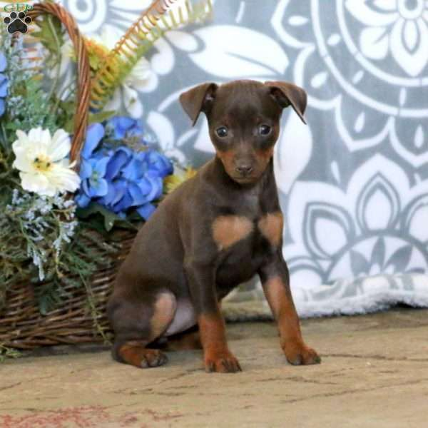 Brooke Miniature Pinscher Puppy For Sale In Pennsylvania