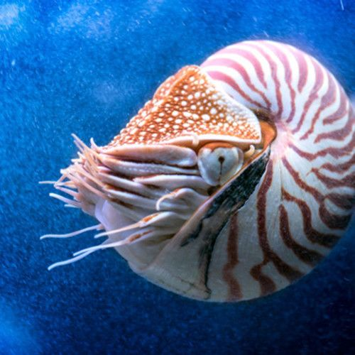 Otherworldly, unique and under pressure. The nautilus has survived for millions of years—but the future is uncertain for this animal with a sought-after shell. Come see them in our Tentacles exhibition!