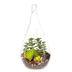 Anacampseros Succulent Hanging Plant in Terrarium (Set of 2)