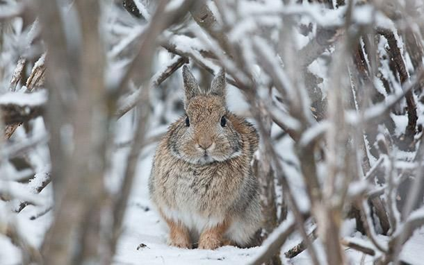 rabbit hunting 5 spots to find winter cottontails field. Black Bedroom Furniture Sets. Home Design Ideas