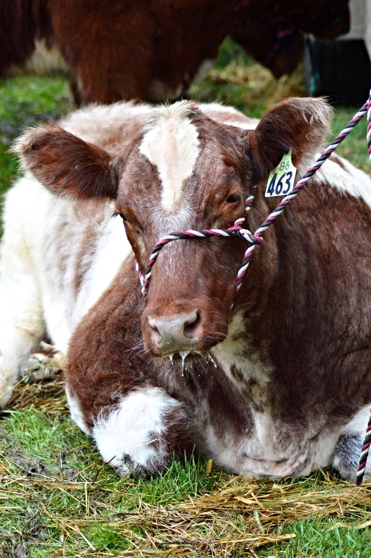 Rmphotography shorthorn steer
