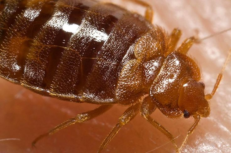 Bed Bugs Bite: Budget Apartments Loaded, Study Finds- People living in budget apartment buildings across northern New Jersey are likely to have bedbugs and not even know about it, a new study finds. A team from Rutgers University found that one in eight low-income apartments had bedbugs, and half the time the residents didn't even know it....