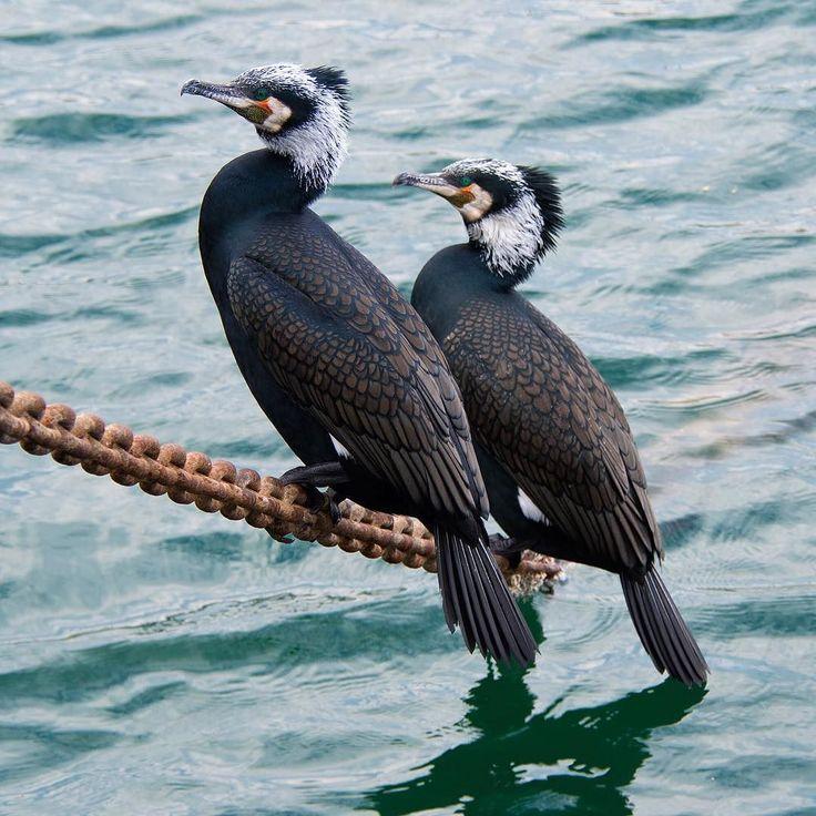 Coromorants catching some sun on Arkadaslik's anchor chain.  #cormorant #cormorants #bird #birds #birdpics #birdphotos #wildlife #avian #nature #seabird #seabirds #birdsofinstagram #birdsofafeather #birdsplanet #birdsofig #birds_of_istagram #birdsofturkey #seabirdsofinstagram #birdspotting #birdshot