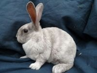 Baby mini rex rabbits for sale LILAC MAGPIE HARLEQUIN at Pets FREE Classifieds