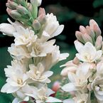 Tuberose - ranks #1 on Kickshaw's Tropical Plant Bulb not only because it grows into a beautiful plant, but also has a fantastic scent as well! See the rest of the top 10 - http://www.kickshawinc.com/category/outdoors-and-gardening/tropical-bulb-plants/